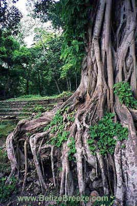 Lamanai tree roots